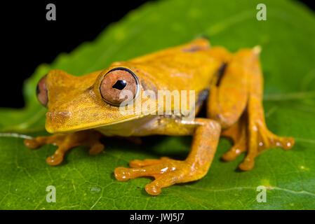 Map tree frog, Hypsiboas geographicus - Stock Photo