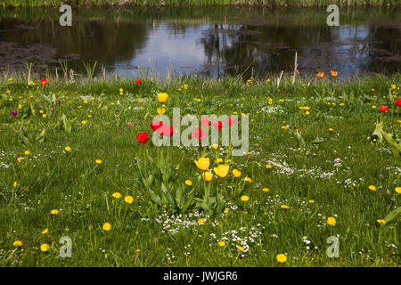 Red and yellow tulips on the meadow near pond. Summer garden landscape design. - Stock Photo