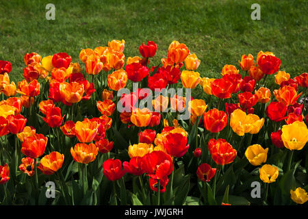 Beautiful yellow and red tulips. Summer garden landscape design. - Stock Photo