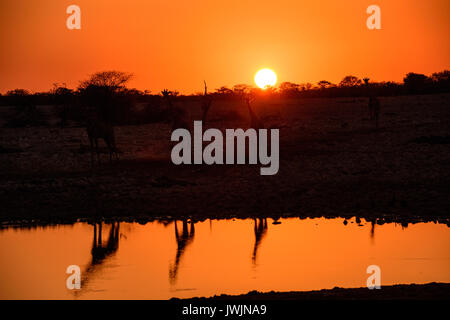 Giraffes reflected in the waters of the waterhole at dusk - Stock Photo