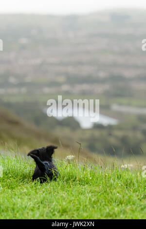 9 week old Scottish terrier puppy sits in grass and looks into the distance from a hill top - Stock Photo