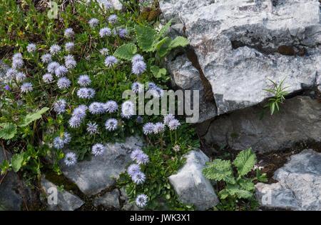 Pretty alpine flowers on a rocky outcrop - Stock Photo