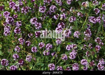 Small violet alpine flowers - Stock Photo