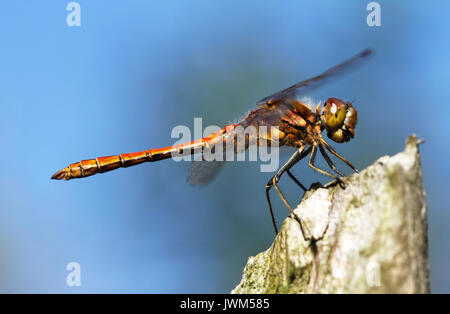 European dragonfly vagrant darter (male), Sympetrum vulgatum in Finland. - Stock Photo