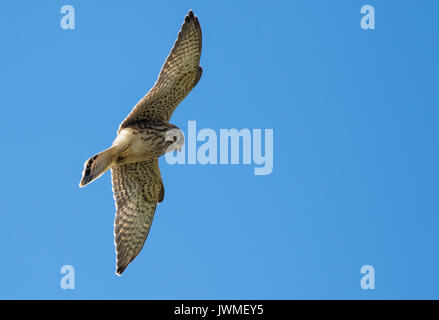 Kestrel hovering over prey - Stock Photo