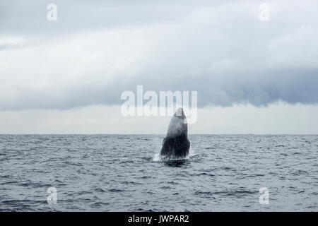 Breaching Humpback whale on winter migratory route off Sydney Heads Australia - Stock Photo