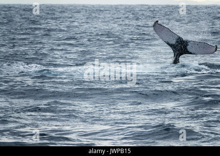 Diving Humpback whale on winter migratory route off Sydney Heads Australia - Stock Photo