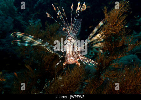 Lionfish in the red sea in egypt - Stock Photo
