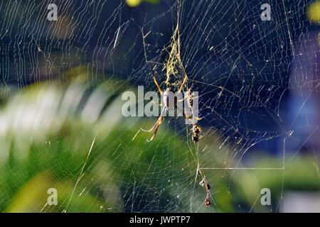 Golden orbweaver orb-weaver spider (Nephila plumipes) in Sunshine Coast, Queensland,  Australia - Stock Photo