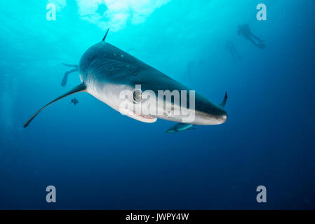 Underwater view of a blue shark and pilot fish, image was taken about 50 kilometres offshore past Western Cape, - Stock Photo