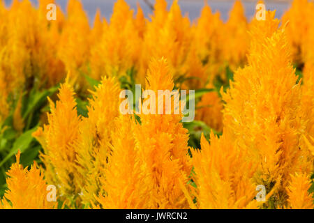 Yellow Gold celosia flower in the garden. - Stock Photo