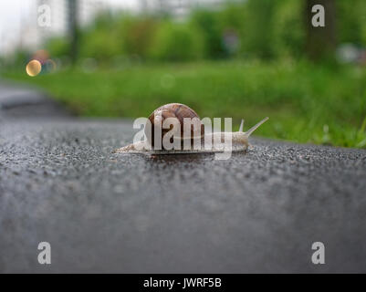 big snail crawling on the asphalt pavement, Moscow - Stock Photo