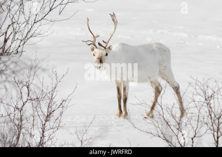 White reindeer in snow standing and watch - Stock Photo