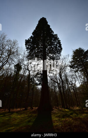 Sequoia at Blackwater Arboretum, Rhinefield Ornamental Drive New Forest - Stock Photo