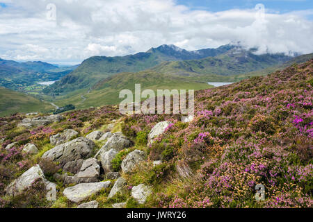 View to distant Snowdon horseshoe from Glyder Fach mountainside with purple Heather in flower above Pen-y-Gwryd - Stock Photo