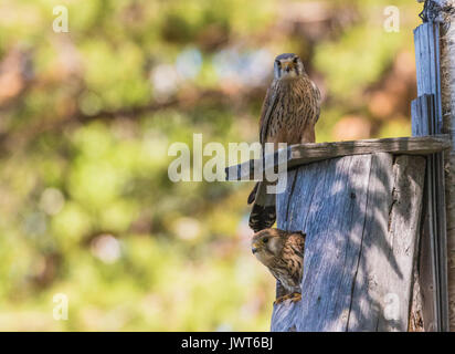 Male and female Common kestrel, Falco tinnunculus, sitting on a bird-house and the female is looking out from it, - Stock Photo