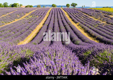 Lavender fields in summer in Valensole. Alpes de Haute Provence, PACA Region, Southern French Alps, France - Stock Photo