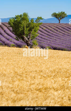 Wheat and lavender fields with trees in Valensole in summer. Alpes de Hautes Provence, PACA Region, Southern French - Stock Photo