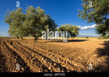 Olive tree field in Valensole in summer. Alpes de Haute Provence, PACA Region, Southern French Alps, France - Stock Photo