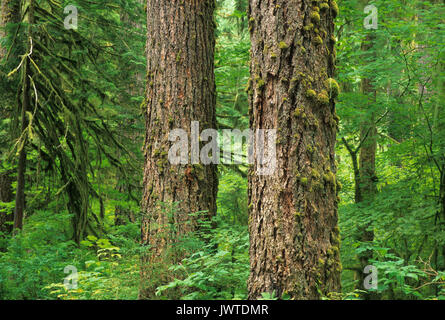Ancient forest, North Fork Sauk Wild & Scenic River, Mt Baker-Snoqualmie National Forest, Washington - Stock Photo