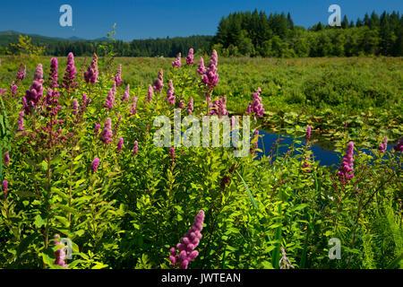 Spirea along Silver Lake Wetland Haven Trail, Seaquest State Park, Washington - Stock Photo