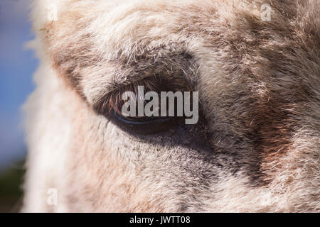 Close up of the eye of a donkey at Sidmouth donkey sanctuary - Stock Photo