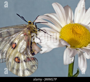 A female Clodius Parnassian butterfly resting on an ox-eye daisy. The whitish structure on her abdomen is a sphragis, - Stock Photo