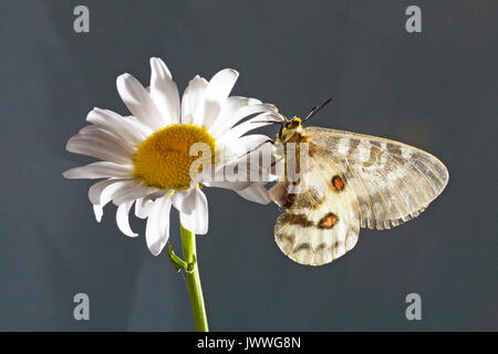 Portrait of a female Clodius Parnassian butterfly, Parnassius clodius, also known as American Apollo, and Clodius - Stock Photo
