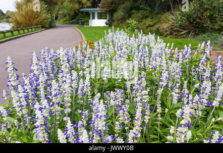 Salvia farinacea 'Strata', AKA Mealy Sage and Mealycup Sage, a Summer  bedding perennial plant, in a flower bed - Stock Photo