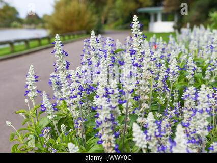 Mealycup Sage, AKA Mealy Sage (Salvia farinacea 'Strata'), a Summer bedding perennial plant, in a flower bed in - Stock Photo