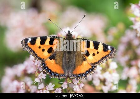 Kleiner Fuchs, Aglais urticae, Nymphalis urticae, small tortoiseshell, La Petite Tortue, Vanesse de l'ortie - Stock Photo
