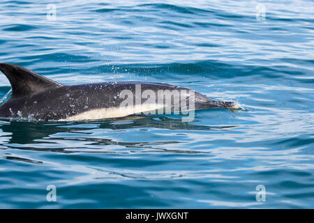 Long Beaked Common Dolphin - Delphinus Capensis - Cornwall - Stock Photo