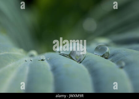 Water droplets on   a leaf of hosta plant - Stock Photo
