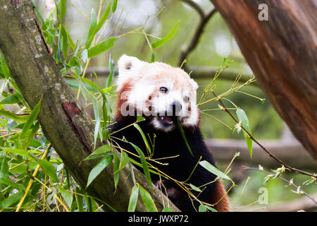 The red panda (Ailurus fulgens), also called the lesser panda, the red bear-cat, and the red cat-bear - Stock Photo