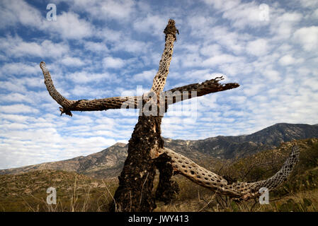 The skeleton of a cholla cactus stands over the Sonoran Desert in the foothills of the Santa Catalina Mountains, - Stock Photo