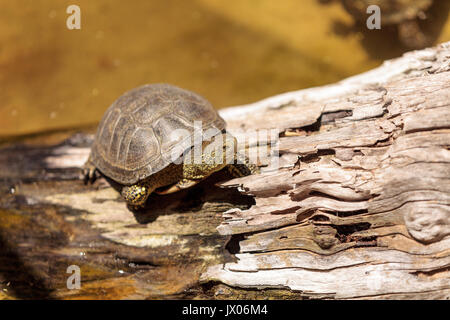 European pond turtle Emys orbicularis is found in Europe to Iran and has also been called the mud turtle. - Stock Photo