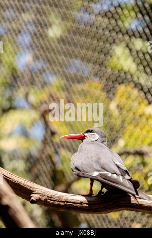 Inca tern bird called Larosterna inca is found in the islands and coastal cliffs of Peru and Chile. - Stock Photo