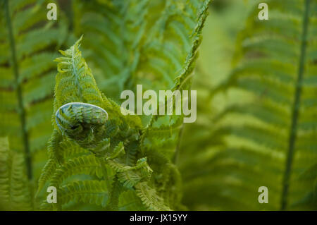 fern unrolling young frond - Stock Photo