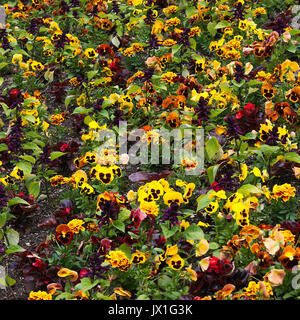 A Beautiful Display of Colourful Pansy Flowers in Full Bloom at Butchart Gardens Victoria Vancouver Island British - Stock Photo