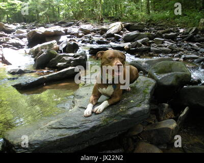 Red nose pit bull sitting on a rock in a creek. - Stock Photo