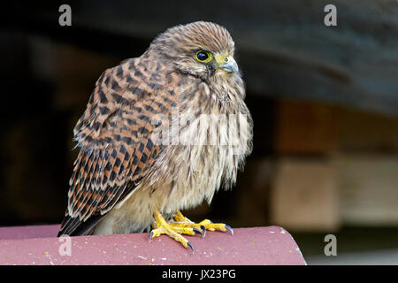 Common kestrel (Falco tinnunculus), young bird, Swabian Alb, Baden-Württemberg, Germany - Stock Photo