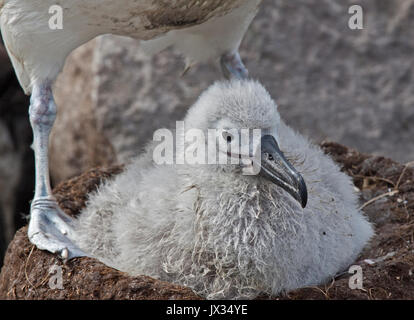 Black Browed Albatross Chick on nest (thalassarche melanophrys), West Point Island, Falklands - Stock Photo
