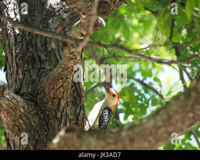 Woodpecker sitting on a tree at White Rock Lake Park - Stock Photo