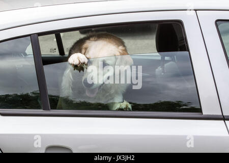 Dog locked in car trying to cool down - Stock Photo