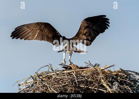 Osprey (Pandion haliaetus) flying from nest on Tigertail Beach, Marco Island, Florida, USA - Stock Photo