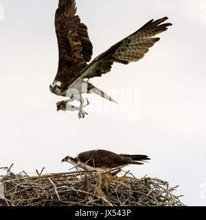 Osprey (Pandion haliaetus) flying from nest with fish, Tigertail Beach, Marco Island, Florida, USA - Stock Photo