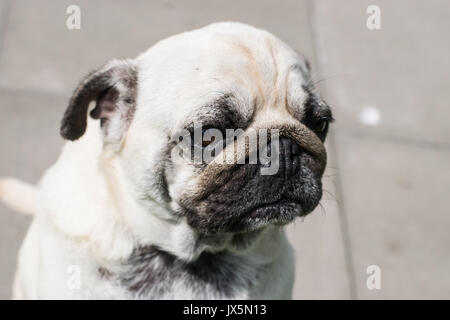 Mops dog - Stock Photo