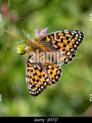 Dark green fritillary Argynnis aglaja female butterfly feeding UK - Stock Photo