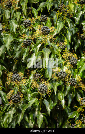 Black seed heads and yellow flower buds of ivy Hedera helix gorwing on a wall in Warwickshire UK - Stock Photo