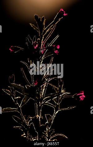 Rosebay Willowherb backlit - Stock Photo